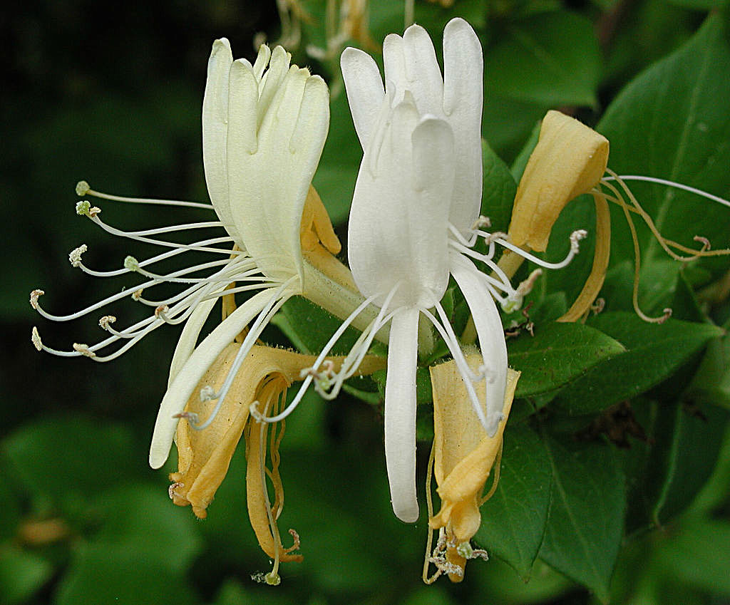 Honey Betekenis Honeysuckle Auntie Dogma 39s Garden Spot