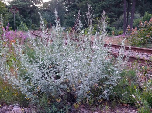 Medium Of Artemisia Silver Mound