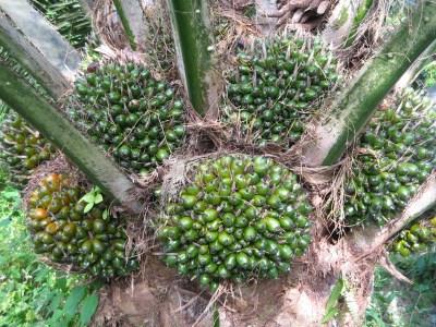 Gambar Pohon Kelapa Sawit