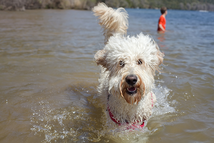 dog red bud isle swimming playing pup rescue island park leash-free