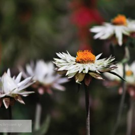 """Xerochrysum sp."" by Jo Williams"