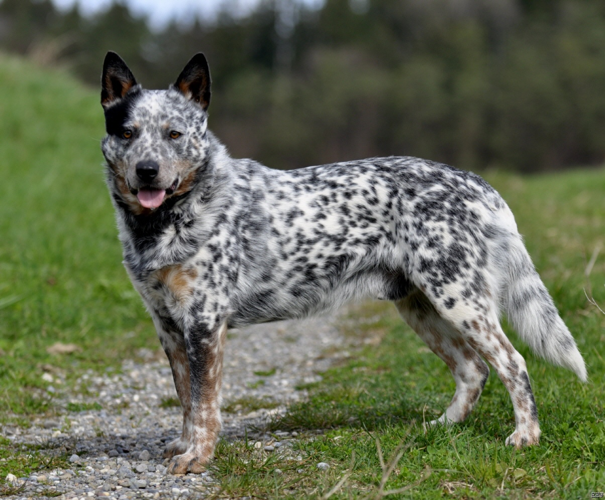 Australian Cattle Dog 1000 43 Images About Dogs On Pinterest Australian Cattle