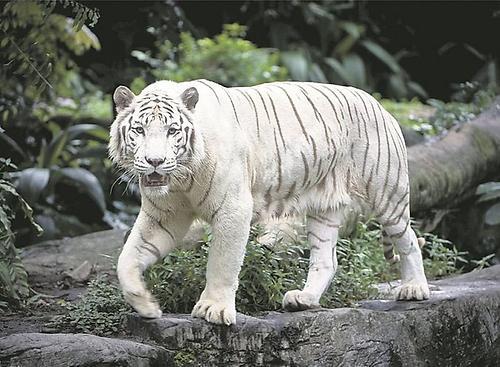 3d Wallpapers Wild Animals Wei 223 E Tiger Naturwissenschaften Essays Im Austria Forum
