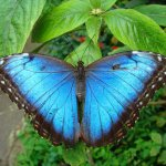 mariposa azul - Morpho peleides