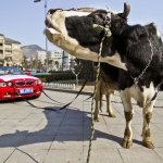 BMW owner protests with cow 1