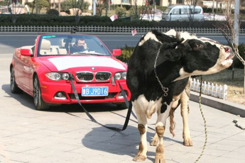 BMW owner protests with cow 3