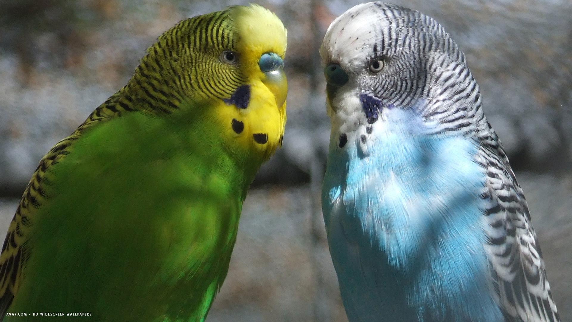 Cute Parakeet Wallpaper Budgie Two Male Budgies Bird Hd Widescreen Wallpaper