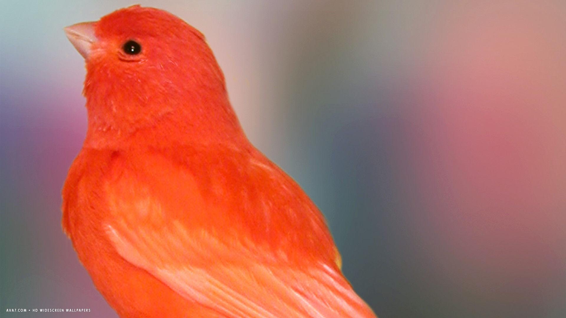 Cute Parakeet Wallpaper Canary Red Cute Bird Hd Widescreen Wallpaper Birds