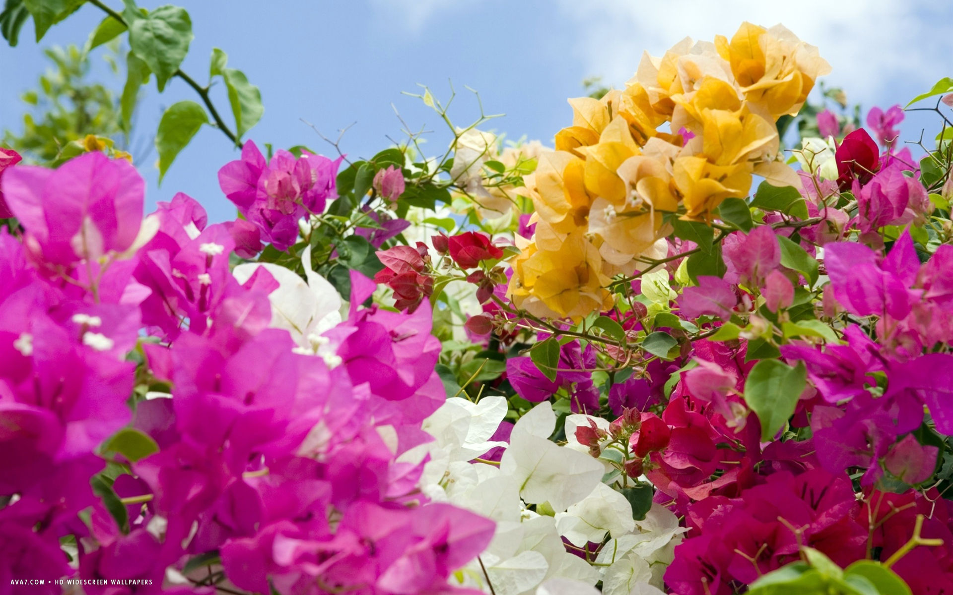 Bougainvillea Wallpaper Bougainvillea Flower Hd Widescreen Wallpaper Flowers Backgrounds