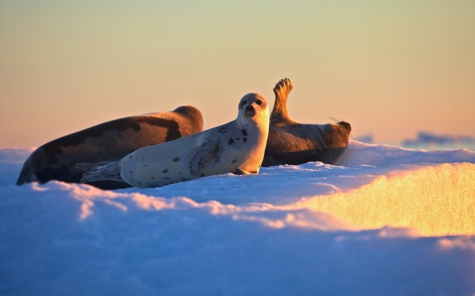 Sunbathing seals in Melville Bay. Photo @ Galya Morrell