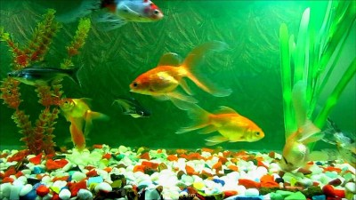 Live fish wallpaper for desktop download (33 Wallpapers) – Adorable Wallpapers