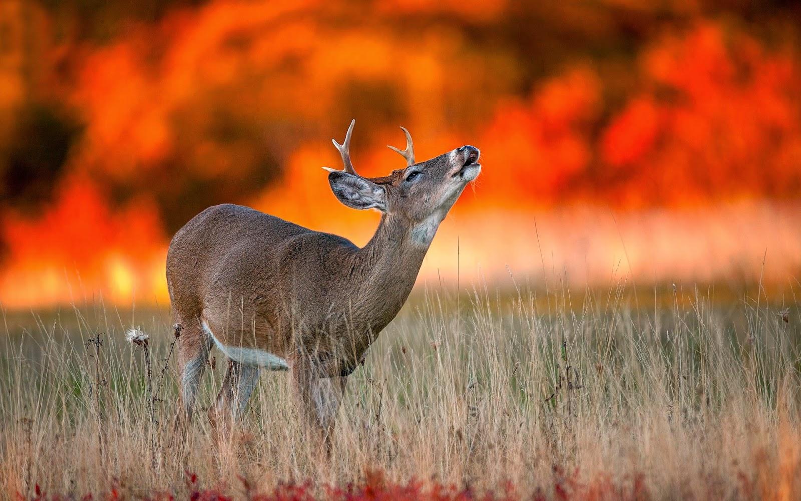 Fall Wallpaper With Deer Amazing Animal Desktop Backgrounds Hdwallpapers Animal