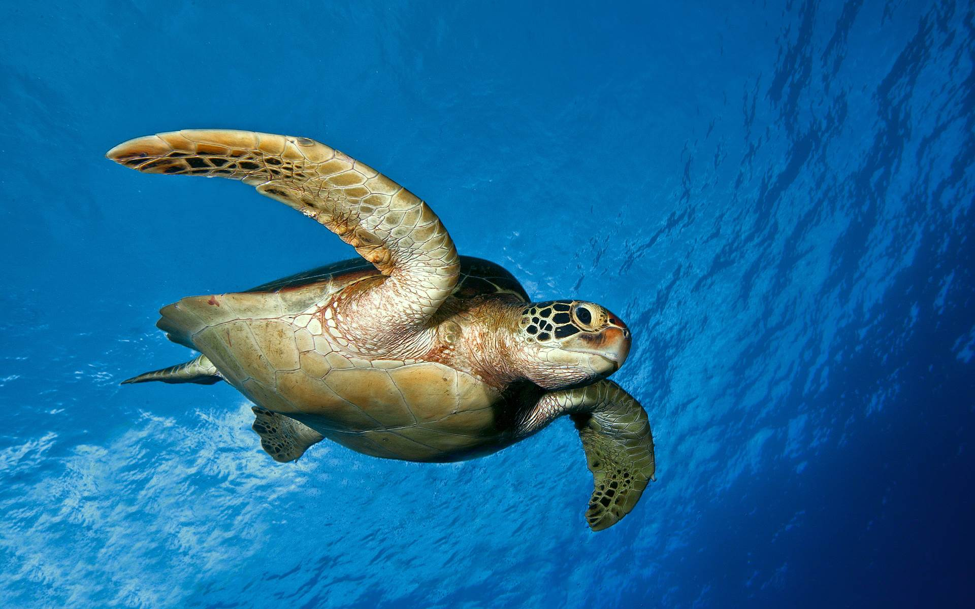 Sea Turtles Wallpaper Sea Turtle Wallpapers Animals Town 1920x1200