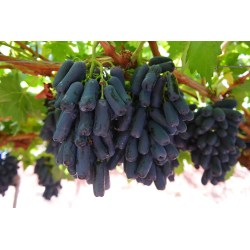 Enamour Fruits Moon Drop Grapes Season Moon Drop Grapes Hybrid Sapphire A Variety nice food Moon Drop Grapes