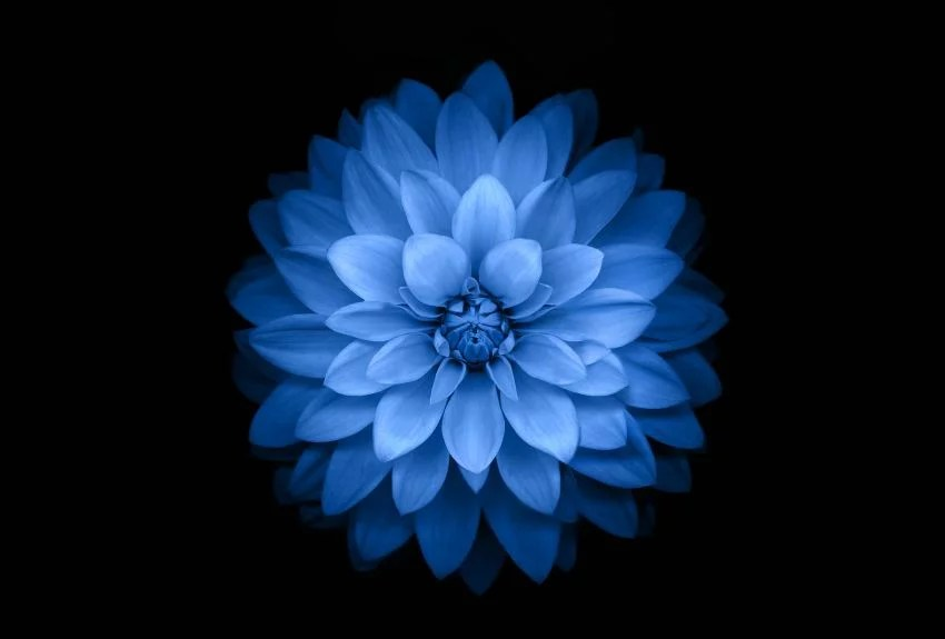 My Iphone Wallpaper Quot Blue Flower Black Background Hd Wallpaper 2016 For Free