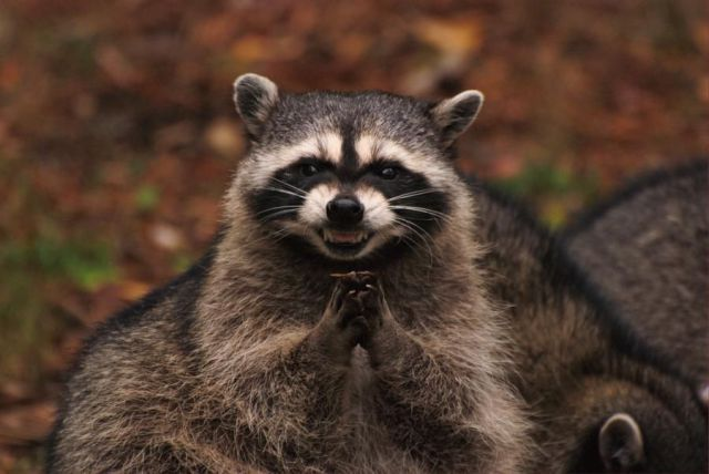 Fall Kitten Wallpaper Raccoon Sounds Averagehunter Com
