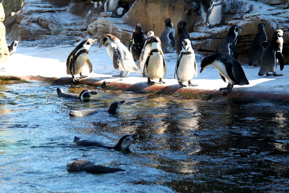 Penguins at the Woodland Park Zoo in Seattle