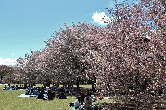 People sitting under Cherry Blossom trees at Shinjuku Gyoen in Tokyo 2013