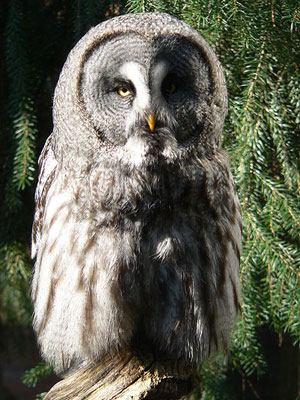 Fluffy And Cute Wallpapers Great Gray Owl Strix Nebulosa The Aviary At Owls Com