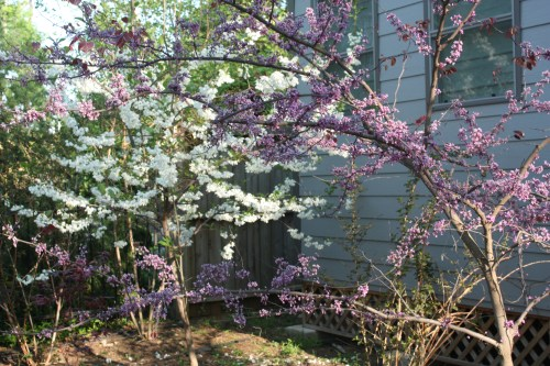 Medium Of Forest Pansy Redbud