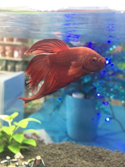 Small Of Betta Fish Not Eating