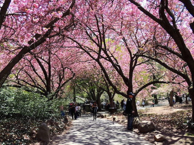 CherryBlossomFestival (1)