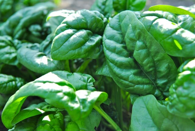 Why I Plant Spinach Late, And Other Tasty Tidbits - A Way To Garden