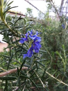 'Rosemary for remembrance'