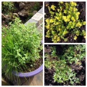 There's Greek Oregano and golden oregano growing and I use lots, both dried and fresh in the kitchen.