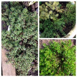 Thyme is one of my  favourites I have plants in pots and in the ground as I use so much of it.Alongside the common garden thyme, there's lemon thyme and caraway thyme. All great for using in the kitchen.