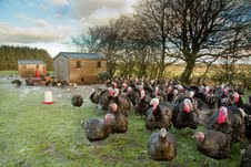 Free Range Turkeys at St Brides on the outskirts of Strathaven in Lanarkshire
