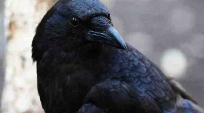 intelligent crows