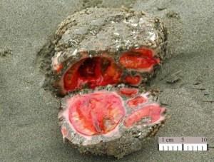 Pyura-chilensis-550x416