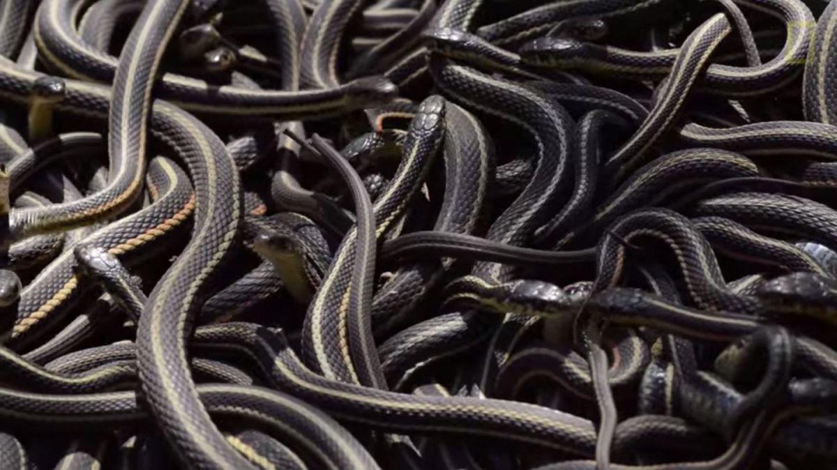 Kreisch! Die größte Schlangenversammlung der Welt
