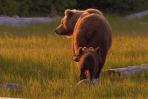 Grizzly Conservation Screencap