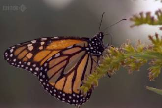 Monarch Butterfly BBC Screencap2