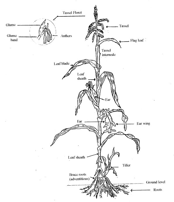 diagram of a wheat plant