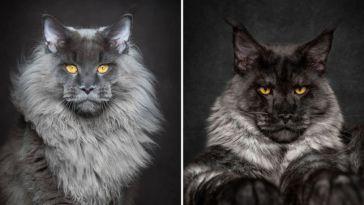 maine-coon-cat-photography-robert-sijka-696x362