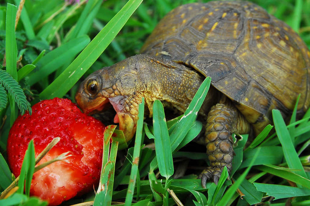 Cute turtle eating a strawberry