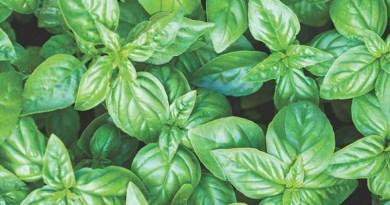 Holy Basil: A Divine Herb