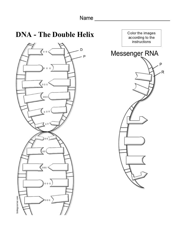 dna diagram labeled