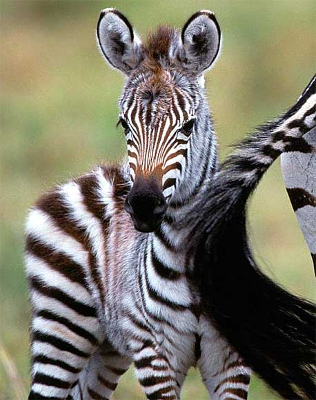 Baby Newborn Teeth Zebra Foals Baby Animal Zoo