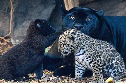 Cute Baby Cheetah Cubs Wallpaper Jaguar Cubs Black Or Spotted Baby Animal Zoo
