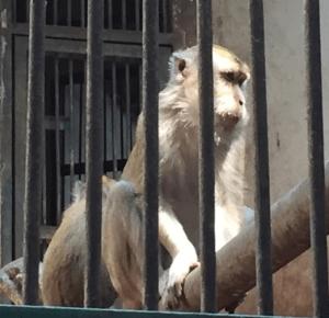 ラグナン動物園の猿①