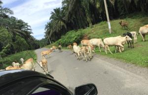 道路をふさぐヤギ