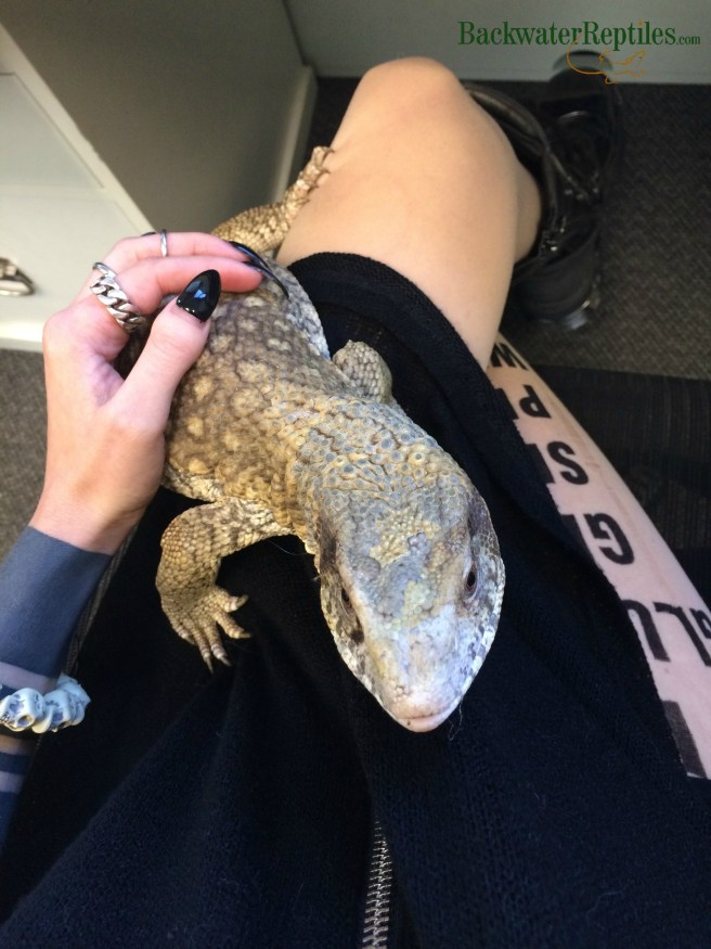 anery savannah monitor