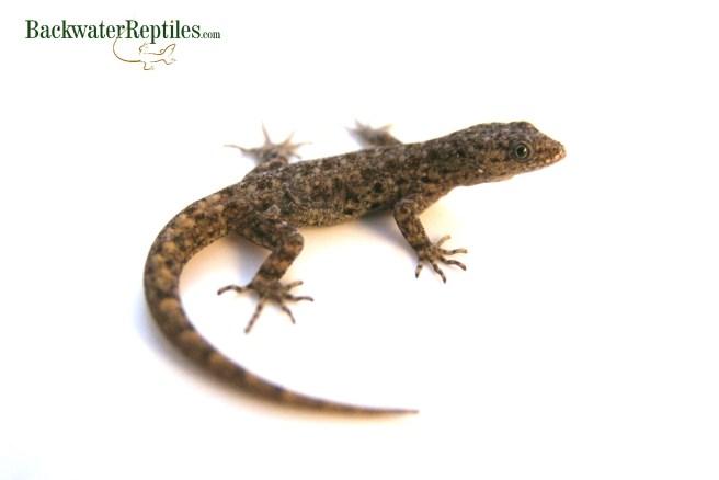 adult ashy gecko