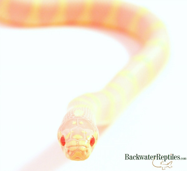 albino california kingsnake