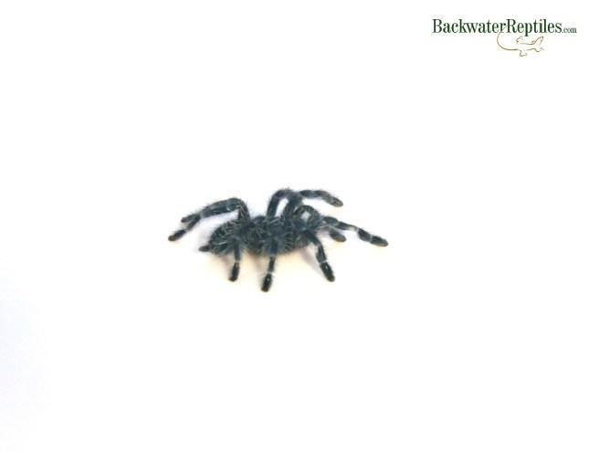 antilles pink toe tarantula