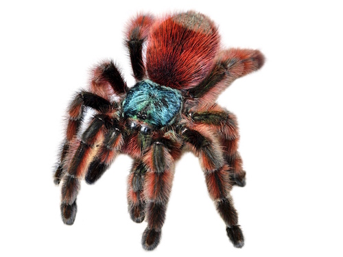adult antilles pink toe tarantula